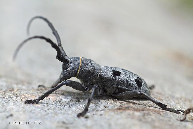 kozlíček (morimus funereus)