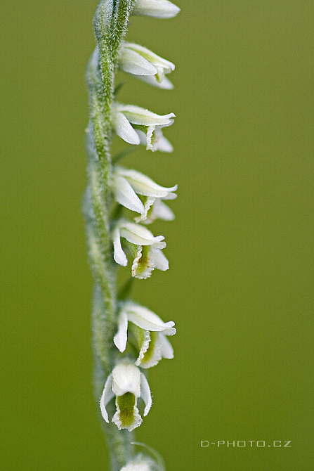 švihlík krutiklas (spiranthes spiralis)