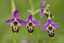 Chorvatské orchideje