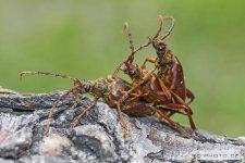 Cerambycidae IV