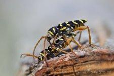Cerambycidae I