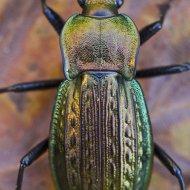 střevlík Carabus (Tachypus) cancellatus ssp. emarginatus