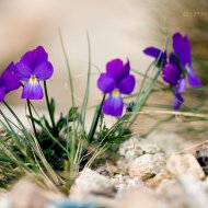 violka sp. (viola sp.)
