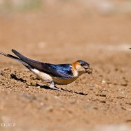 vlaštovka skalní (hirundo daurica)