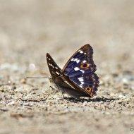 batolec duhový (apatura iris)