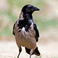 vrána obecná šedá (corvus corone cornix)