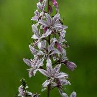 třemdava bílá (dictamnus albus)