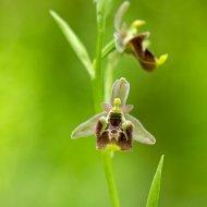tořič ophrys sphegodes (det. J. Šmiták)
