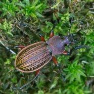střevlík měděný Carabus (Tachypus) cancellatus ssp. tibiscinus