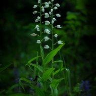okrotice bílá (Cephalanthera damasonium)
