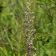 jazýčkovec jadranský (Himantoglossum adriaticum)