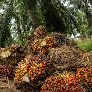 palma olejná (Elaeis guineensis)