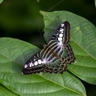 bělopásek (Parthenos sylvia)