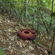 raflézie (Rafflesia Tuan-Mudae)