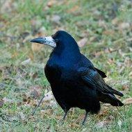 havran polní (corvus frugilegus)