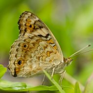 babočka Junonia orithya
