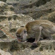 makak (Macaca fascicularis)