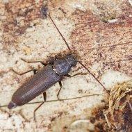 tesařík (Arhopalus syriacus) ex larva