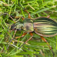 střevlík Carabus (Tachypus) auratus ssp. auratus