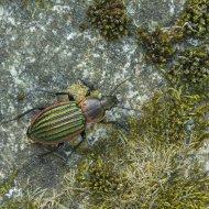 střevlík Carabus (Hemicarabus) nitens ssp. nitens