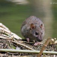potkan obecný (rattus norvegicus)