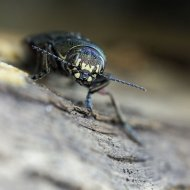 krasec (Buprestis haemorrhoidalis)