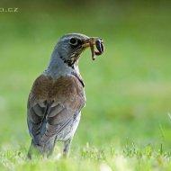 drozd kvíčala (turdus pilaris)