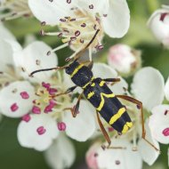 tesařík (Clytus arietis)