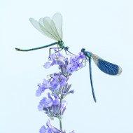 motýlice obecná (Calopteryx virgo)