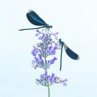 motýlice obecná (Calopteryx virgo), motýlice lesklá (Calopterix splendens)