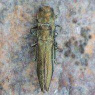 krasec (Agrilus suvorovi ssp. populneus) ex larva