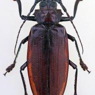 tesařík (Titanus giganteus)