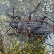 střevlík Carabus (Tachypus) cancellatus ssp. excisus