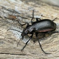 krajník hnědý (Calosoma inquisitor)