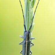 kozlíček (Agapanthia cardui)