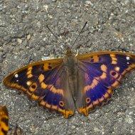 batolec červený (Apatura ilia)