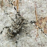 kozlíček (Aegomorphus clavipes)