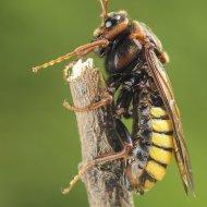 paličatka (Cimbex fagi)
