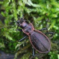 střevlík Carabus (Platycarabus) irregularis ssp. ramanus