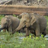 slon indický (Elephas maximus maximus)