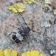 kozlíček (Leiopus punctulatus) ex larva