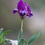kosatec nízký (iris pumila)