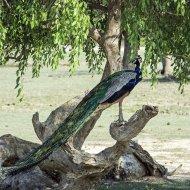 páv (Pavo cristatus)