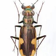 svižník Cicindela (Hypaetha) biramosa
