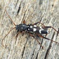 tesařík (Isotomus speciosus)