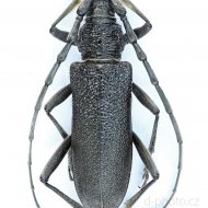 tesařík (Cerambyx scopolii)
