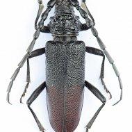 tesařík (Cerambyx nodulosus)
