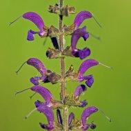 šalvěj luční (liparus glabrirostris)