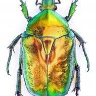zlatohlávek (Potosia aeruginosa)