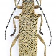 kozlíček (Saperda similis) ex larva